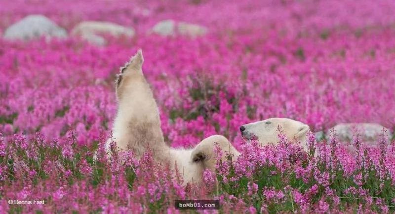 北極熊在花叢中遊玩的照片,但看完之後你就會感受到無與倫比的幸福!