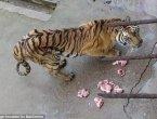 英媒:广西一动物园老虎被活活饿死制壮阳酒(图)