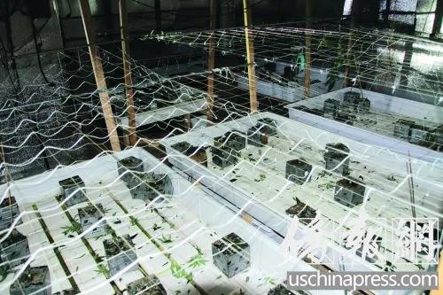 华裔为在美国偷偷种大麻 方法都想绝了组图