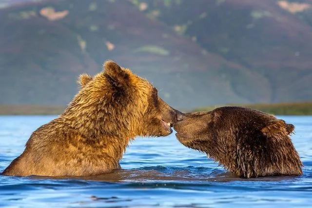 棕熊在水上激情拥吻 画面闪瞎摄影师