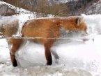 """狐狸掉进河里 结果冻成了""""冰雕""""(组图)"""