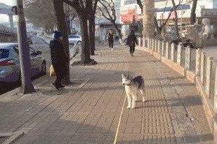 哈士奇散步不敢前进 原因让人心碎不已(组图)