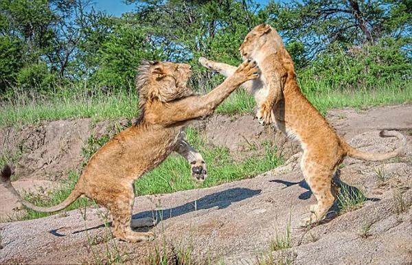 爱尔兰摄影师拍到狮子兄妹嬉戏打斗画面
