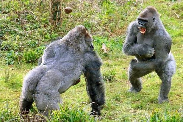 """前猩猩王回到族群要重新""""夺权"""" 不料被年轻的猩猩集体…下场好惨!"""