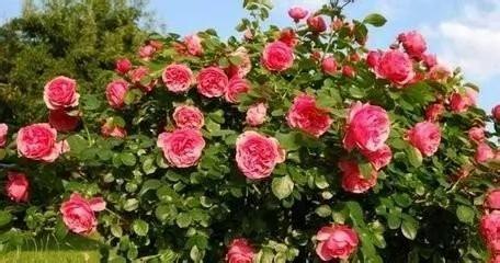 香味浓的花草不宜养在室内 推荐爱花人士五种花(图)