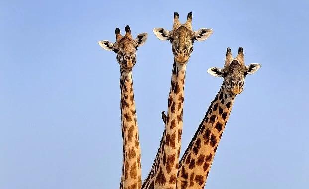 """巧妙!摄影师赞比亚公园拍到""""三头""""长颈鹿"""