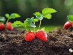 草莓被催熟?不用怕 这 5 种食物其实很安全(图)