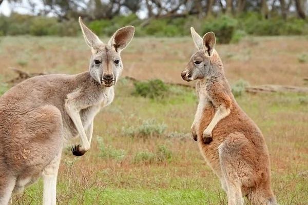 袋鼠泛滥 澳洲欲杀百万只 动保人士抗议