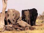 """非洲象群不愿抛弃同伴尸体深情""""亲吻""""表哀悼(组图)"""