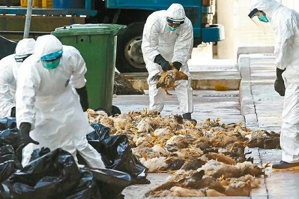 H7N9传播半个中国死亡率惊人 中共维稳掩盖真相