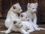 德动物园珍稀白狮宝宝和父母抱作一团 亲密温馨(组图)