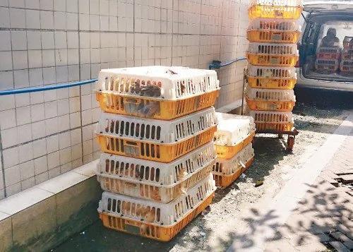 兰江:禽流感来势汹汹 政府防范太无力