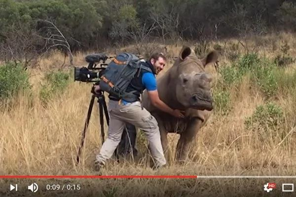 南非野犀牛主动接近摄影师 要求按摩肚子