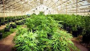加州要立法庇护种大麻 警方大怒:重罪!凌驾国家!