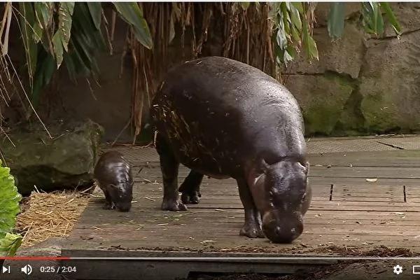 悉尼动物园的可爱侏儒小河马首次亮相