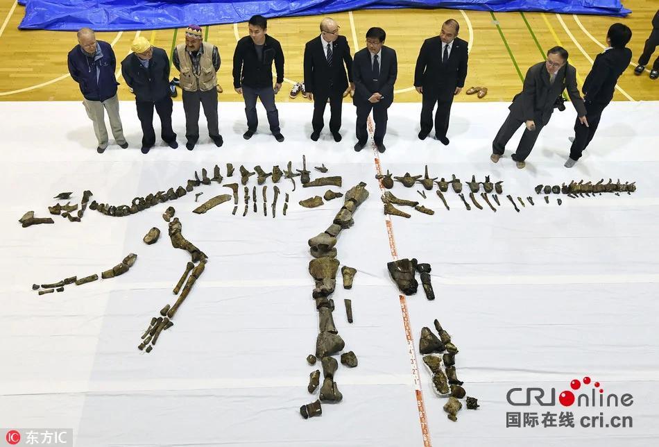 北海道发现日本最大恐龙化石 或系新物种