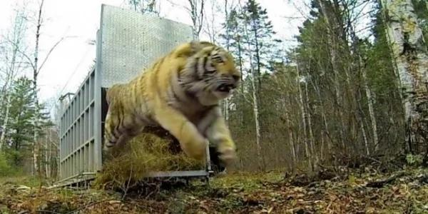 """工作人员偷偷把""""监视器""""装在老虎身上再把它放回大自然!老虎最后竟…"""