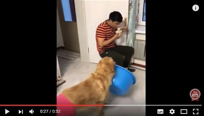 """爸爸正在吃面 金毛""""妞妞""""叼着盆狂追 最后老爸还是怂了!(图/视频)"""