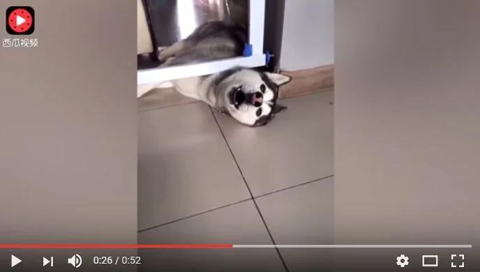 哈士奇把头卡在门缝里 急的哭天喊地的让主人救它!(图/视频)