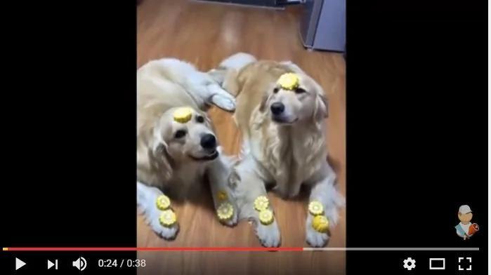 男主人让金毛去偷点钱 结果狗狗的表现太精彩了!(图/视频)