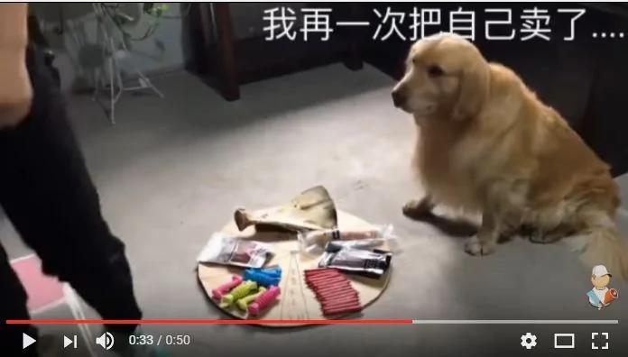 金毛和主人玩转盘游戏 结果狗狗被坑惨了!