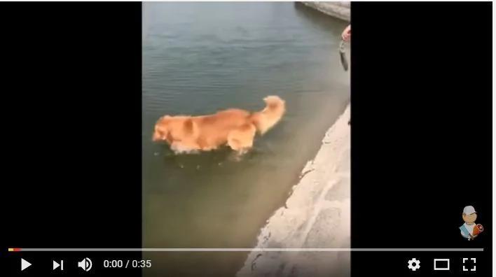 金毛看见水兴奋不已 主人拉都拉不住 自己下水里去玩儿了!