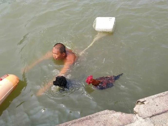 百人围观赞赏:这只大公鸡竟能陪主人下河游泳
