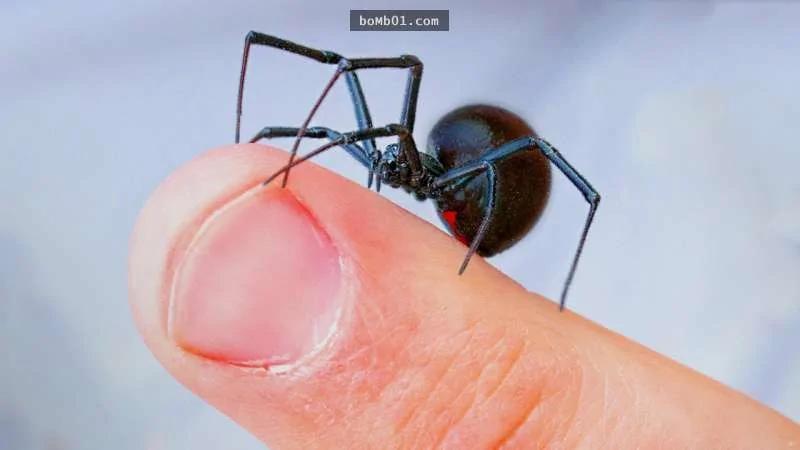 """他挑战让""""毒性是响尾蛇10倍""""的黑寡妇蜘蛛咬自己"""