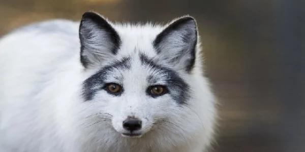 """""""大理石狐狸""""拥有全世界最美的长相!但是人们竟然…"""