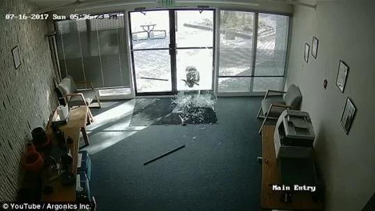 """美公司玻璃门被山羊撞碎 两次""""作案""""撞碎两扇门"""