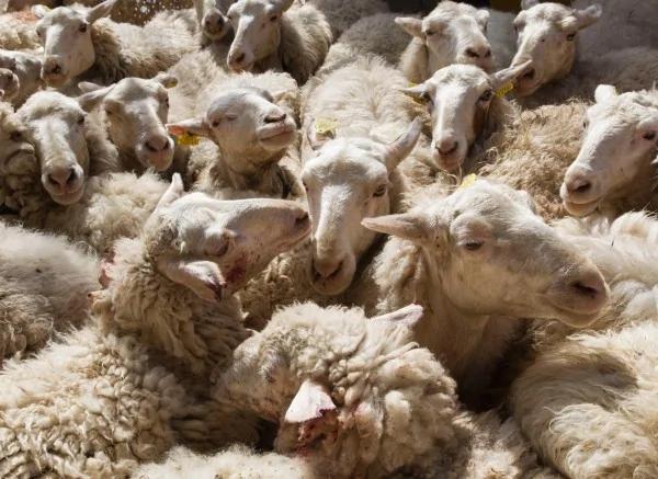 200多只绵羊集体跳崖自杀 原因竟是...