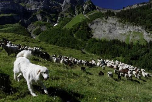209只羊为躲避棕熊追逐 集体坠崖而亡