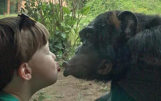 有爱!加幼童和大猩猩隔着玻璃窗互相亲吻对方