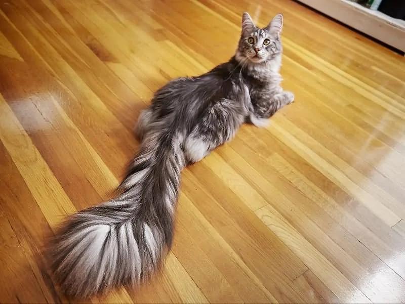 这只猫拥有世界上最长的尾巴!