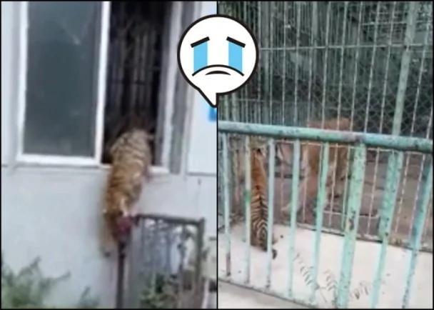 感动!辽动物园幼虎越狱 徘徊母亲笼前悲呜