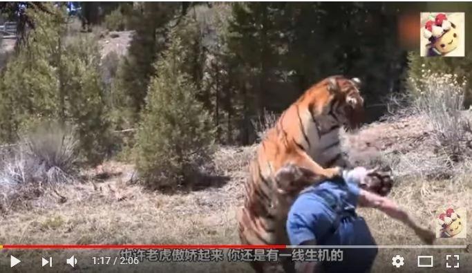 在野外对着老虎蹲下 老虎会吓跑吗?答案你万万想不到!