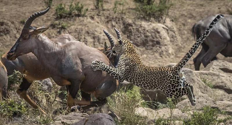 肯尼亚花豹蛰伏捕食牛羚斑马均以失败告终!