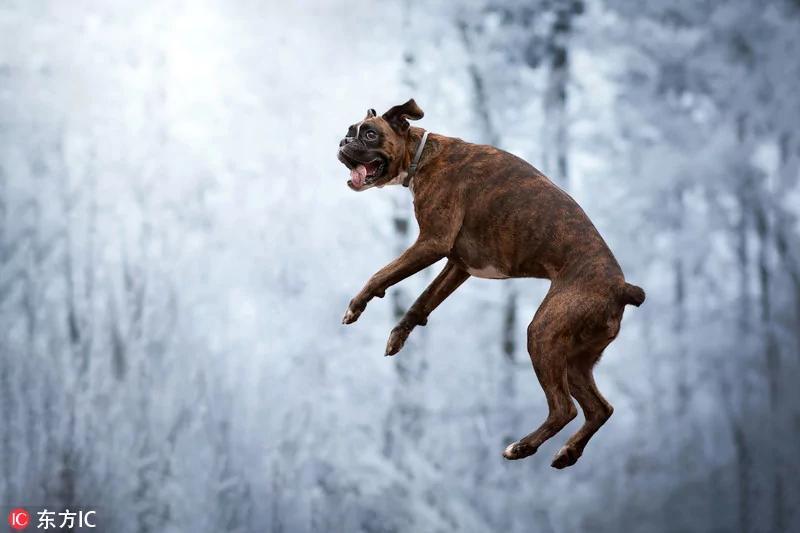"""匈牙利拳师犬表演系列""""鬼脸""""令人捧腹"""