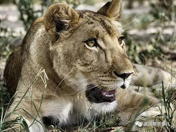 没人要的小狮子 有了这俩奶爸后 简直要被宠上天啊!