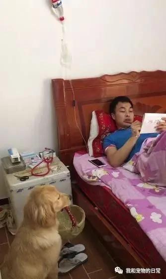 主人为了训练金毛想出一招苦肉计 假装病倒在床来观察金毛的反应!