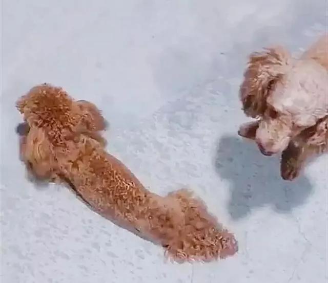 狗狗爬着走路装残 被主人踢了一脚 立刻恢复正常!