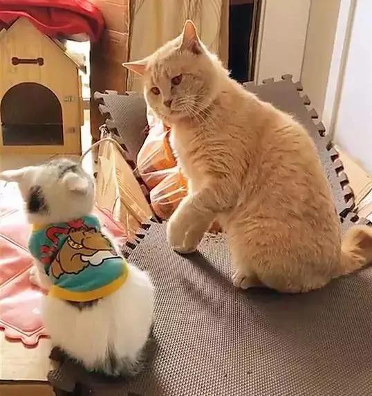 猫咪教训新来的小奶猫 伸出爪子就要打头:我轻轻的不疼!